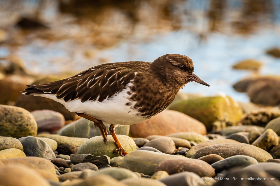 A Black Turnstone on the beach at the Semiahmoo spit in Blaine, Washington.