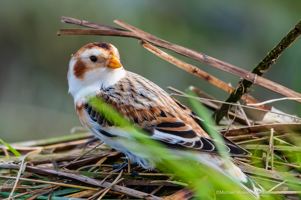 A Snow Bunting at Leque Island in Stanwood, Washinton.
