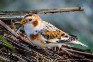 Bird of the Week: Snow Bunting
