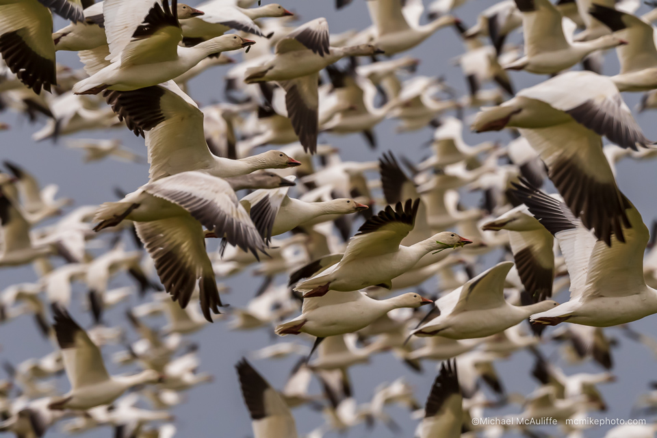 Bird of the Week: Snow Goose