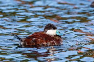 Bird of the Week: Ruddy Duck