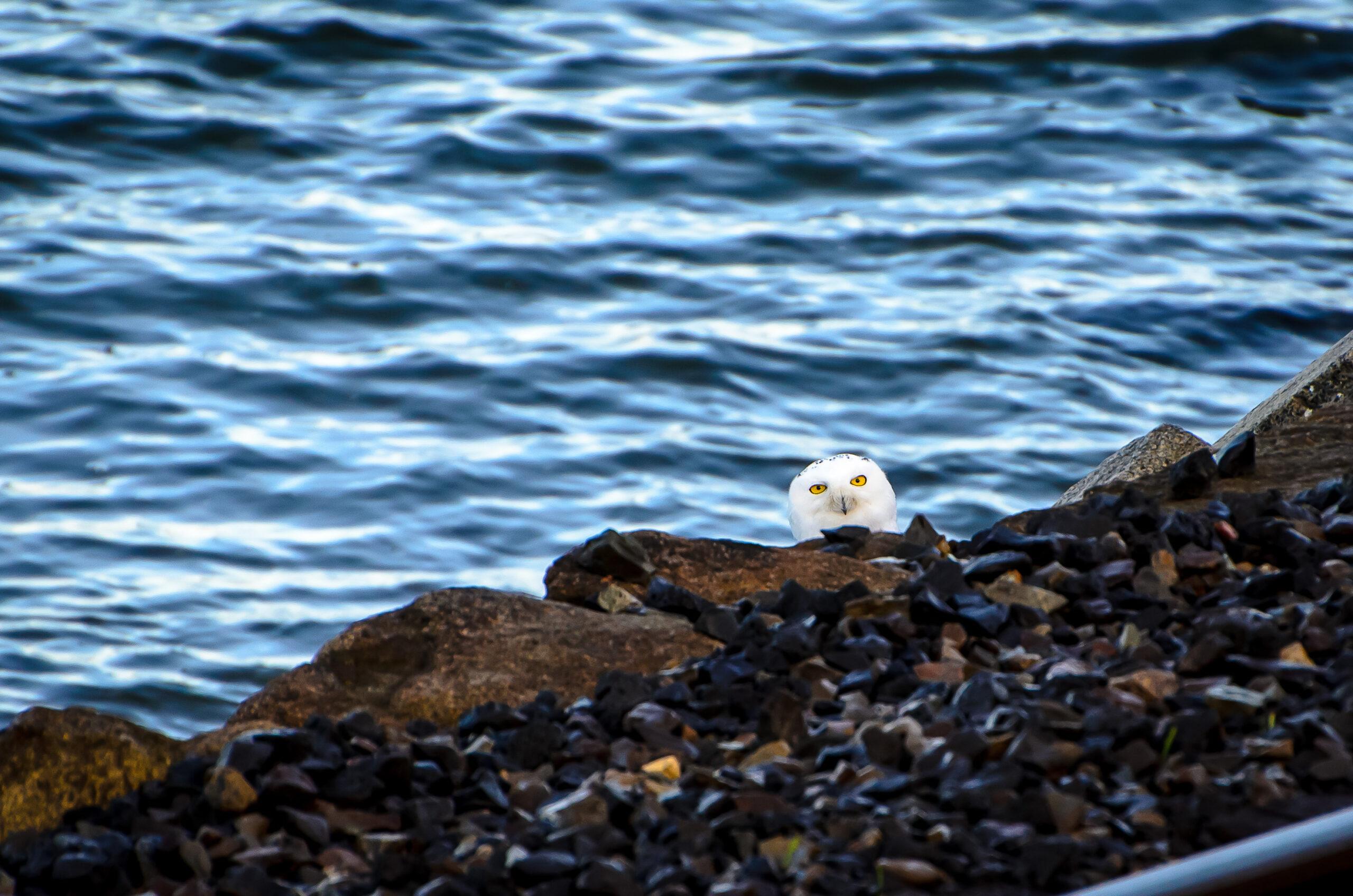 Snowy Owl Story and Photos
